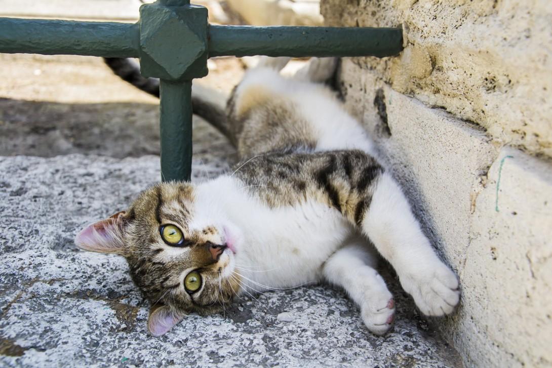 Kot w Stambule