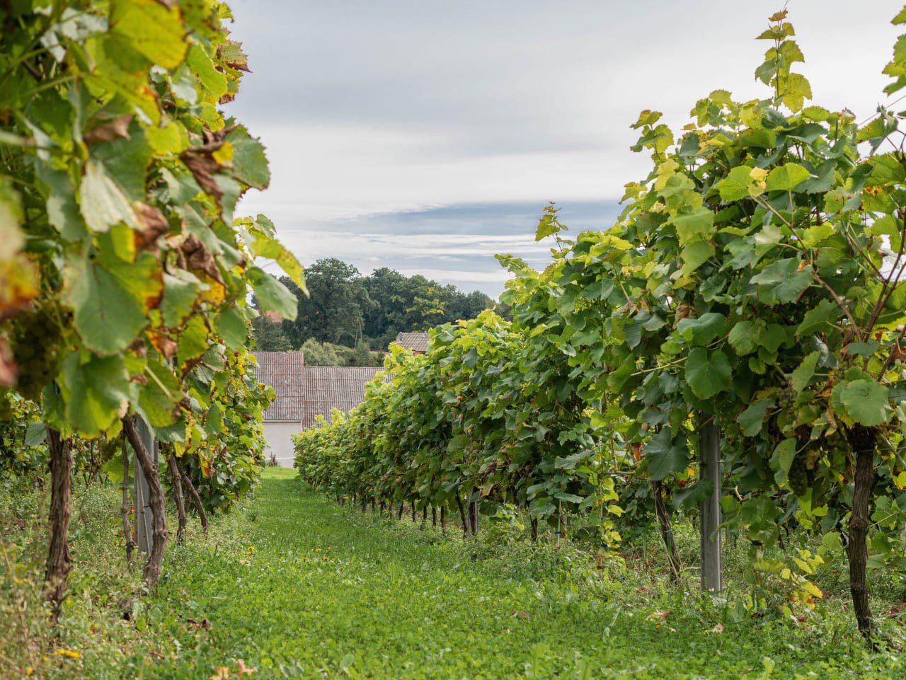 Nietypowe Atrakcje Dolnego Śląska Winnica Kindler w Uniejowicach Wino Dolnośląski Szlak Piwa i Wina2